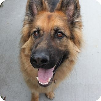 Shepherd (Unknown Type) Mix Dog for adoption in Naperville, Illinois - Hal