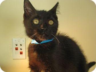 Domestic Shorthair Cat for adoption in Miami, Florida - German