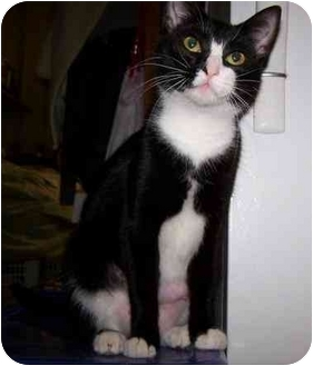 Domestic Shorthair Cat for adoption in Fort Worth, Texas - April