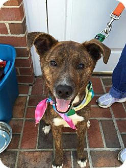 Catahoula Leopard Dog/Terrier (Unknown Type, Medium) Mix Dog for adoption in Aylett, Virginia - Kellan