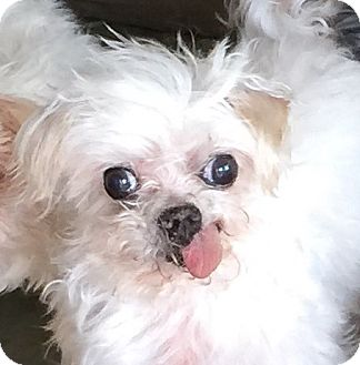 Maltese Dog for adoption in San Marcos, California - Humphrey