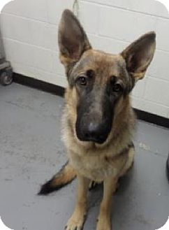 German Shepherd Dog Dog for adoption in Sacramento, California - Barkley