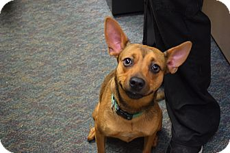 Miniature Pinscher/Terrier (Unknown Type, Small) Mix Dog for adoption in Bucyrus, Ohio - Knee-High Lily