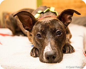 Pit Bull Terrier Mix Dog for adoption in Wethersfield, Connecticut - Turnip