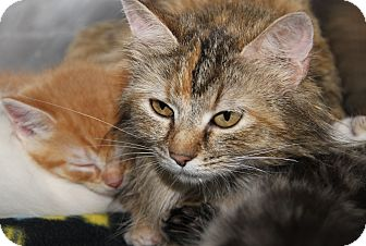 Domestic Shorthair Cat for adoption in Marietta, Ohio - Kashi & Kittens