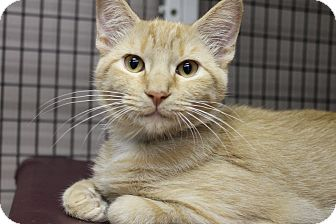 Domestic Shorthair Cat for adoption in Medina, Ohio - Keith