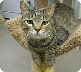 Domestic Shorthair Cat for adoption in Hamburg, New York - Peppy
