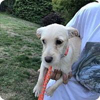 Adopt A Pet :: Luise - Tumwater, WA