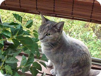 Domestic Shorthair Cat for adoption in Cincinnati, Ohio - Torie