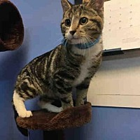 Domestic Mediumhair Cat for adoption in Canfield, Ohio - GOOBER