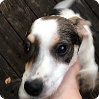 Adopt A Pet :: Wilson Wiener - Flower Mound, TX