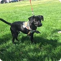 Adopt A Pet :: Steven Charles - Channahon, IL