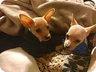 Chihuahua Puppy for adoption in Livermore, California - Chip