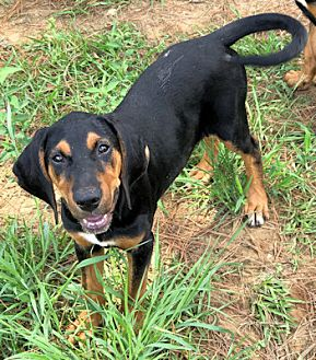 Black and Tan Coonhound Mix Puppy for adoption in Atlanta, Georgia - The MerryMakers