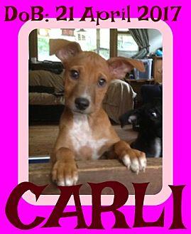 Basenji/Labrador Retriever Mix Puppy for adoption in New Brunswick, New Jersey - CARLI