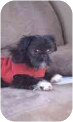 Shih Tzu Puppy for adoption in North Benton, Ohio - Trip