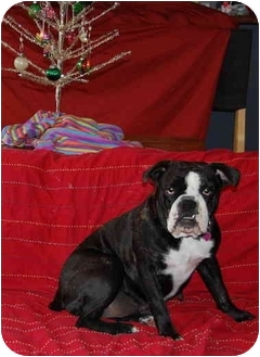 English Bulldog Dog for adoption in San Diego, California - Nellie