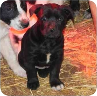 Pit Bull Terrier/Labrador Retriever Mix Puppy for adoption in Salem, New Hampshire - Cagney