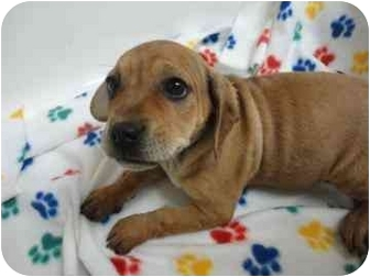 Golden Retriever/Boxer Mix Puppy for adoption in Spruce Pine, North Carolina - Vesta