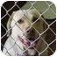 Photo 1 - Labrador Retriever Mix Dog for adoption in Everman, Texas - Sandy