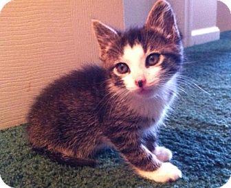 Domestic Shorthair Kitten for adoption in Hendersonville, Tennessee - Avery