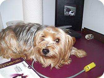 Yorkie, Yorkshire Terrier Dog for adoption in Coventry, Rhode Island - Nova