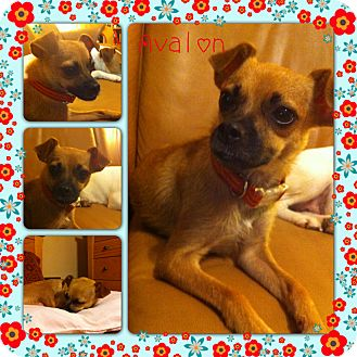 Chihuahua Mix Dog for adoption in White Settlement, Texas - Avalon - Adoption Pending