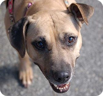 Pit Bull Terrier Mix Dog for adoption in Cropseyville, New York - Mona Lisa