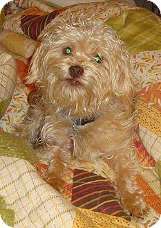 Yorkie, Yorkshire Terrier/Poodle (Miniature) Mix Dog for adoption in North Wilkesboro, North Carolina - Milo