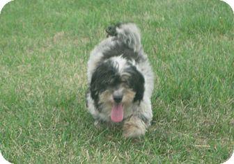 Havanese Dog for adoption in Prole, Iowa - Brooke