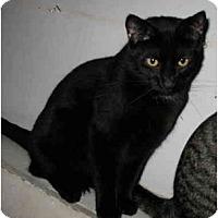 Adopt A Pet :: Purr-cy - Cincinnati, OH