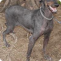 Adopt A Pet :: Penelope - Sun Valley, CA
