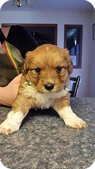 Shepherd (Unknown Type)/Labrador Retriever Mix Puppy for adoption in Laingsburg, Michigan - Charlie