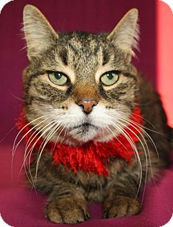 Domestic Shorthair Cat for adoption in Jackson, Michigan - Abe