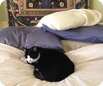 Domestic Shorthair Cat for adoption in Laguna Woods, California - Oreo
