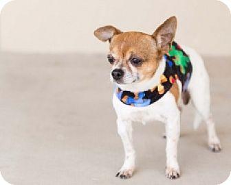 Chihuahua Mix Dog for adoption in Mesa, Arizona - Chester