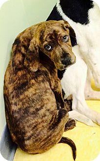 Labrador Retriever/Hound (Unknown Type) Mix Puppy for adoption in Greenfield, Wisconsin - Sophie