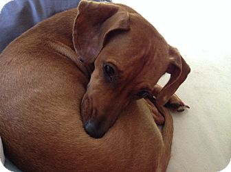 Dachshund/Whippet Mix Dog for adoption in Pinellas Park, Florida - Little Foot