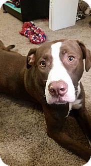 Labrador Retriever/Pit Bull Terrier Mix Dog for adoption in Wichita Falls, Texas - Myles