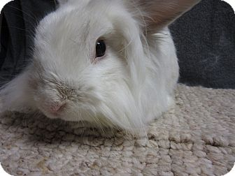 Lionhead Mix for adoption in Newport, Delaware - Julius