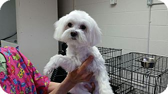 Maltese Mix Dog for adoption in Maryville, Tennessee - Toby