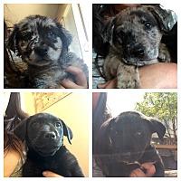 Adopt A Pet :: Aussie/Lab Mix Boys - Long Beach, CA