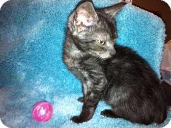 Domestic Mediumhair Kitten for adoption in Tallahassee, Florida - Shadow