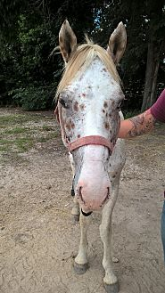 Paint/Pinto/Appaloosa Mix for adoption in Hitchcock, Texas - Bandit