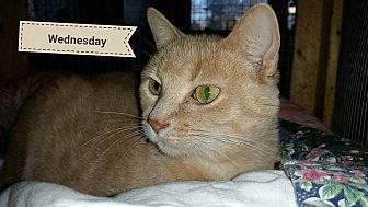 Domestic Shorthair Cat for adoption in MADISON, Ohio - Wednesday