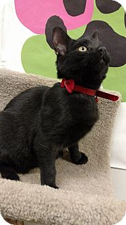 Domestic Shorthair Kitten for adoption in Bensalem, Pennsylvania - Peggy