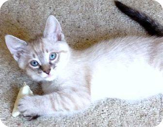 Siamese Kitten for adoption in Vacaville, California - Mayson