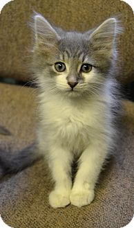 Domestic Longhair Kitten for adoption in Michigan City, Indiana - Tree