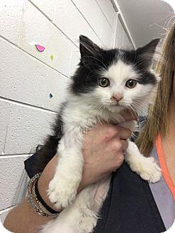 Domestic Longhair Kitten for adoption in Paducah, Kentucky - Dottie