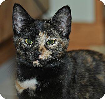Domestic Shorthair Kitten for adoption in Columbus, Ohio - Turtle
